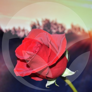 blog-rosa