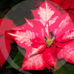 poinsetia-2-BLOG_LIDERVET