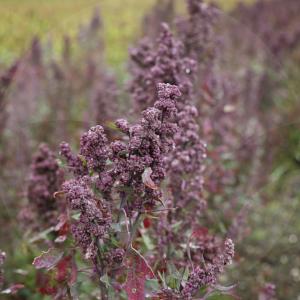 quinoa-1-BLOG_LIDERVET