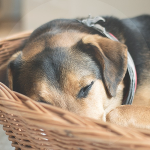 perro-dormir-BLOG_LIDERVET