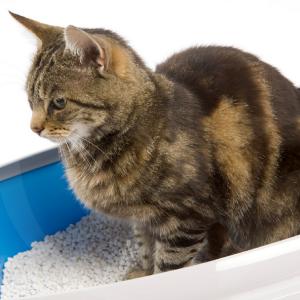 gato-arena-blog_lidervet